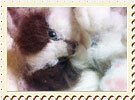 スノーシュー子猫